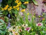 Coreopsis and friends