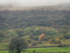 Black cow and tree, other side of the Wharfe