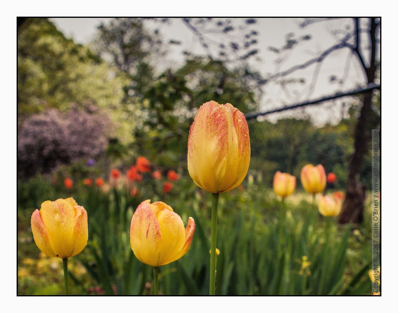 Tulips lead the dance after the rain