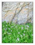 Photo of Rock bluebells 2