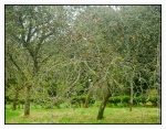 Photo of Apple orchard at Godolphin